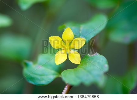 Yellow pimpernel (Lysimachia nemorum) flower. Low growing woodland plant in the primrose family (Primulaceae) with bright golden yellow flower