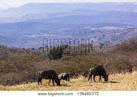 Three Wildebeest Grazing On  Grassy Hillside Overlooking Hills