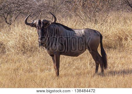 Single Wild Wildebeest On Dry Winter Grass And Bush