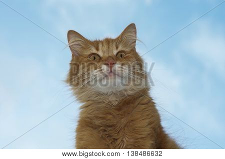 Portrait of a red fluffy cat on a background of blue sky looks ahead