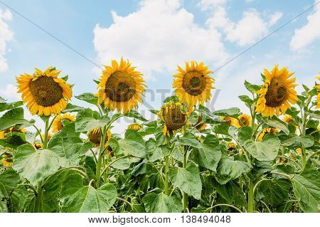 Flowers of a sunflower on a plantation on a background of the blue sky.