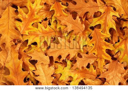 Autumn background - dried brown and yellow oak leaves
