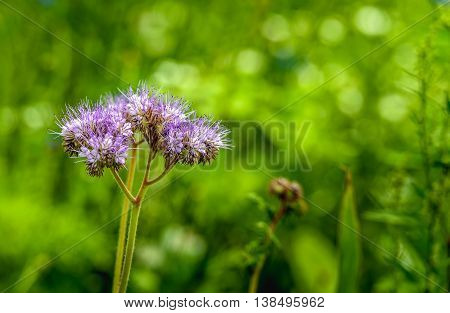 Closeup of a blossoming Purple tansy or Phacelia tanacetifolia plant in an ecologic field edge in the Netherlands. The purpose of this field edge is to support the conservation of biodiversity.