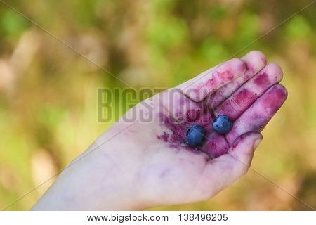 Handful of blueberries. Child picking blueberries in the wood
