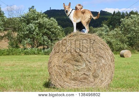 Child blond boy playing with Smooth Collie dog on hay bale.
