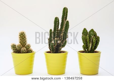Close up view of three small cacti in isolated white background potted house plant as home office indoor decoration.