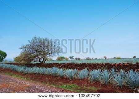 Agave field landscape tequila sky cultivation plant