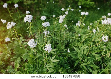 White Saponaria Flowering Plants At Forest. Grass Soap. Soapworts Flower