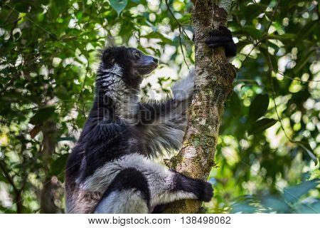 Shot of Indri lemur sitting on the tree and holding it. Madagascar