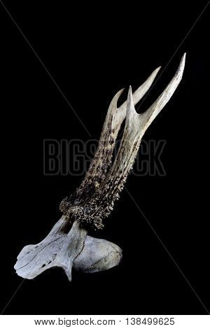 Pair of Deer Antlers on a black background