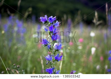 blue flower on a glade with a green grass