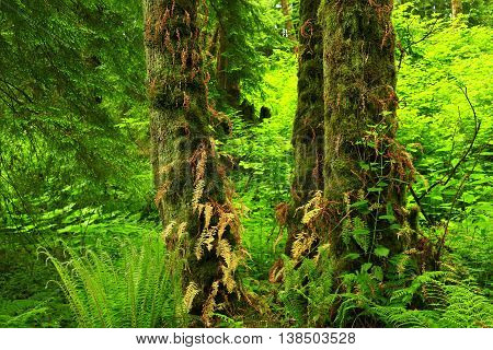 a picture of an exterior Pacific Northwest forest with maple trees and ferns in summer