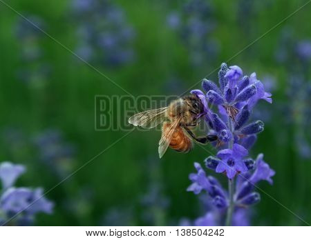 Honeybee collecting nectar as a bee working on a lavender flower as a nature symbol for plant fertilization and healthy horticulture and agriculture.