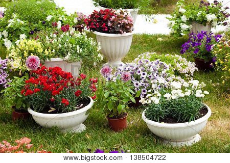 Different kinds of garden flowers in pots. Landscape design flowers. Colorful petunias in potflowers