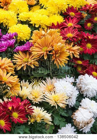 The Variety of colorful gerbera in the small garden with the withered white gerbera.