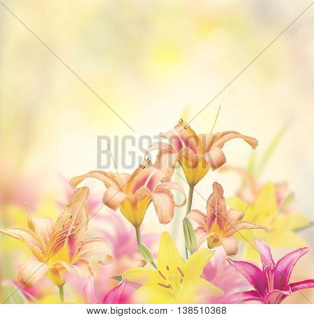 Blossom of Colorful Lily Flowers
