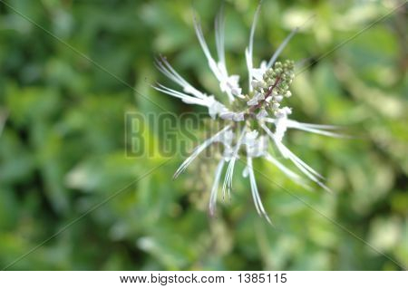 Needle Flower