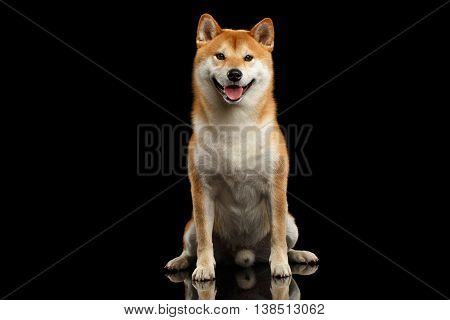 pedigreed Shiba inu Dog Sitting and Smiling, Looks Curious on Isolated Black Background, Front view