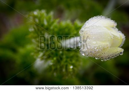 Wild flower with morning dew at Paradise, Mt Rainier National Park, Washington