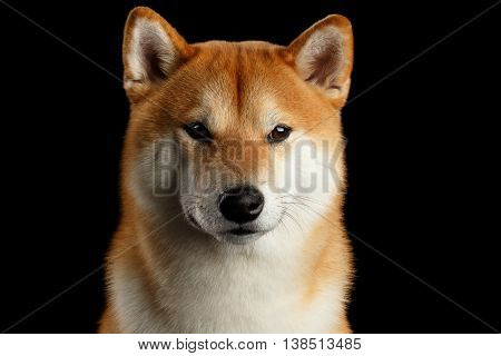 Close-up Portrait of head Shiba inu Dog, Looks Curious in Camera, Isolated Black Background, Front view, Brutal Eyes