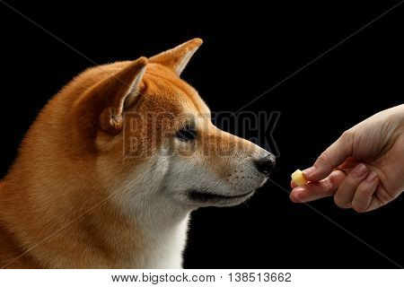 Closeup Human hand gives a treat to Shiba inu Dog, Looks closely, Isolated Black Background, Profile view