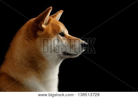 Closeup Portrait of Adorable Shiba inu Dog, Looks closely, Isolated Black Background, Profile view