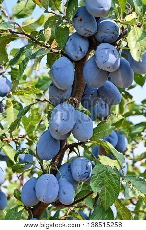 Plum orchard. Fruit growing in Serbia, Europe