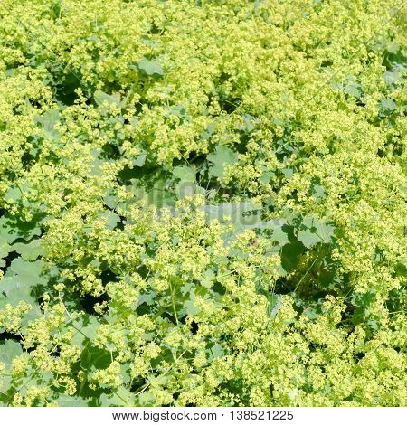 Flowers of a blossoming lady's mantle or Alchemilla mollis.