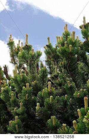 The Pinus mugo caracteristic in mountain (Italy)
