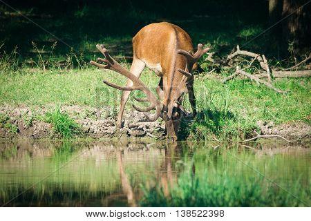 Big Red Deer in the green woods