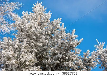 The Fluffy Hoarfrost on branches of spruce