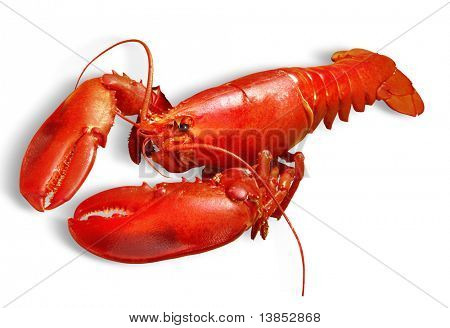 Red lobster isolated on white background with path