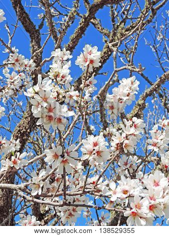 Almond tree plantation. Blossoming tree with almond flowers and blue sky.