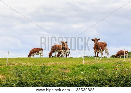 LYTHE ENGLAND - JULY 12: Herd of cows (believed to be Ayrshire cows) in a farm field. In Lythe North Yorkshire England. On 12th July 2016.
