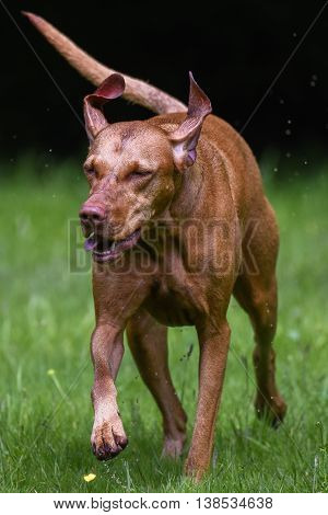 Hungarian Vizsla Crossing Field With Eyes Closed