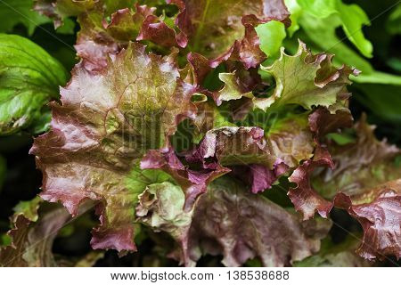 Fresh green and brown lettuce leaves close up top view