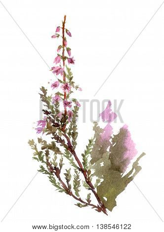 Isolated blossoming heather flower. Watercolor botanical illustration.