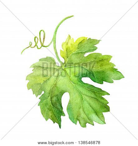 Grape leaf of vine with swirl. Watercolor botanical illustration