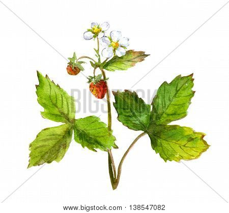 Strawberry bush with berry. Watercolor botanical illustration