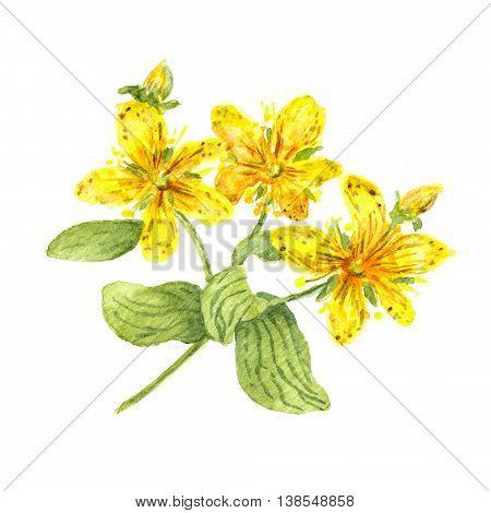 Hypericum flower. John's wort plant. Watercolour illustration