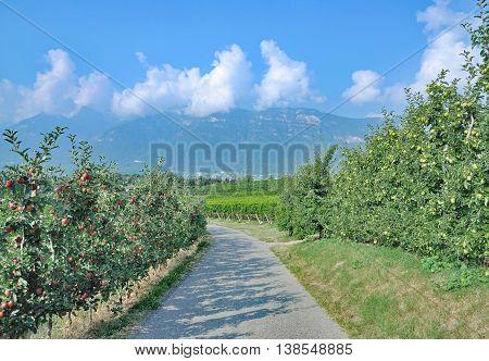 Apple Plantation in South Tirol at Lake Caldaro near  Merano,Italy