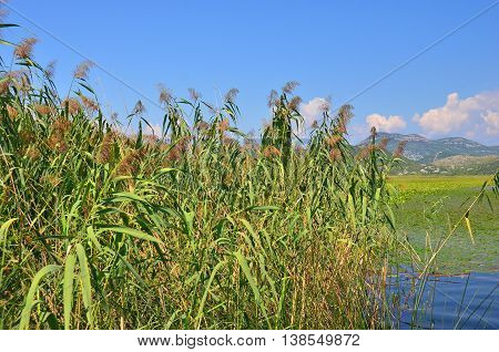 Reed (scirpus Gen.) Spinney In River
