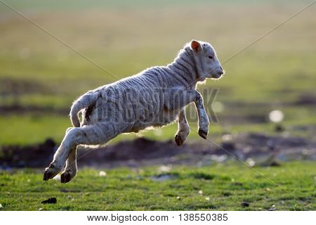cute lambs running on field in spring