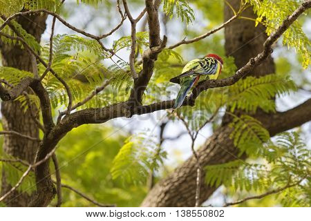 Colorful Eastern Rosella bird resting on tree branch during Autumn in South Australia