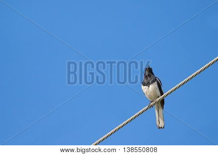 Ant view of Oriental Magpie Robin bird in black and white perching on a steel cable against blue sky in Thailand, (Copsychus saularis)
