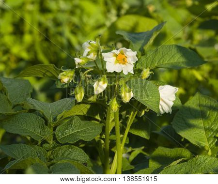 White and yellow flower on blooming potato plant close-up selective focus shallow DOF