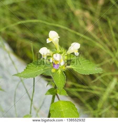 Large-flowered Hemp-nettle or Edmonton hempnettle Galeopsis Speciosa plant with flowers on bokeh background selective focus shallow DOF