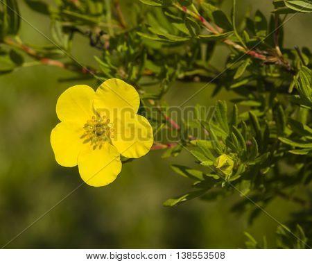 Shrubby cinquefoil Tundra rose Golden hardhack Dasiphora fruticosa flower on shrub macro selective focus shallow DOF