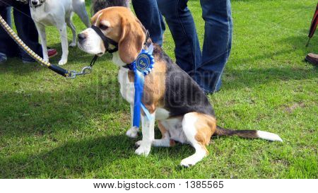 Beagle Dog Winning Second Place In Dog Show.Rosette