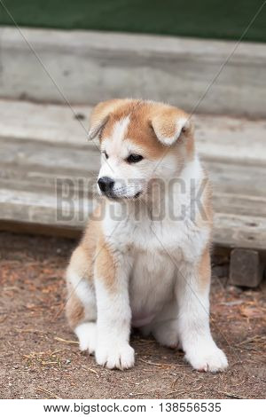 Dog sit  - Japanese Akita Inu puppy